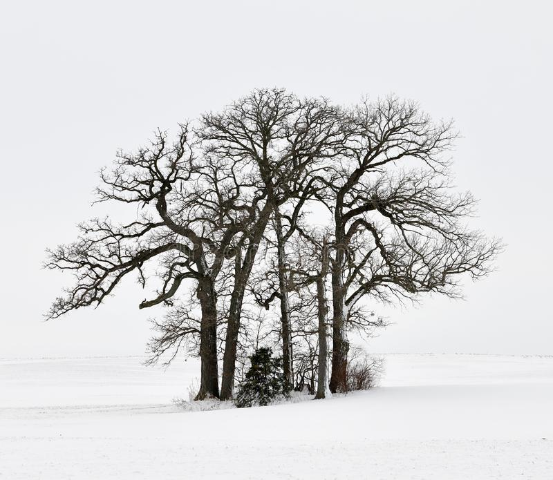 Un support des arbres à feuilles caduques dans un domaine de neige photographie stock