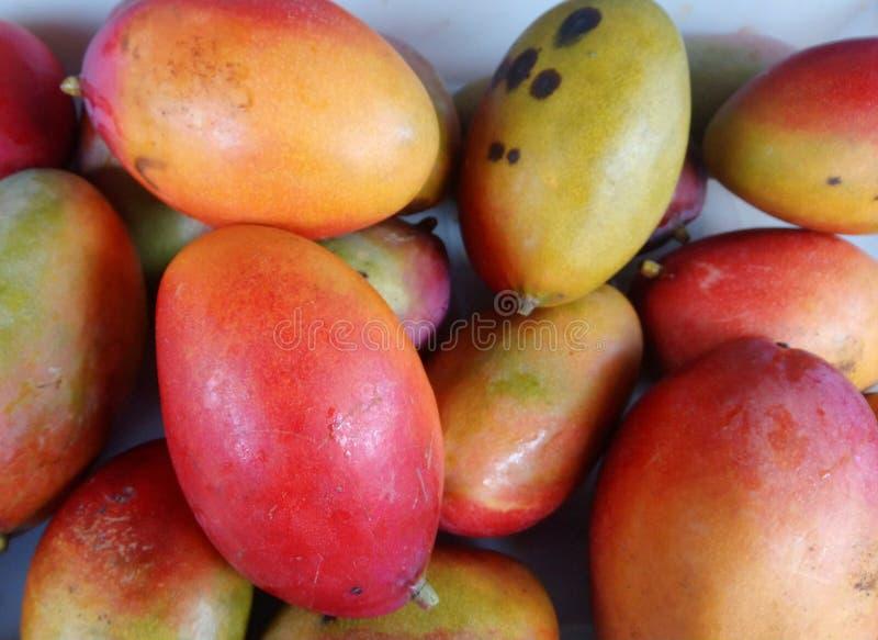 Un support rouge de mangue image stock