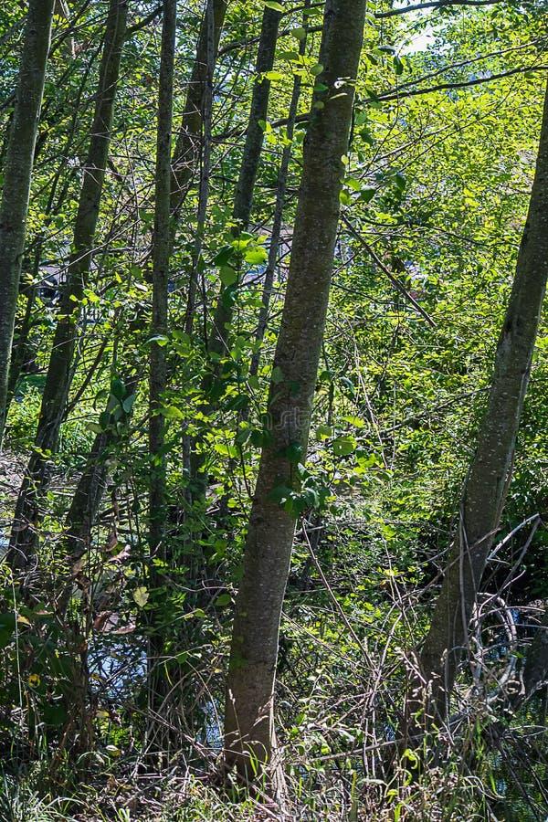 Un supporto degli alberi di betulla con la corteccia bianca pezzata con boscaglia ed erba fotografie stock libere da diritti