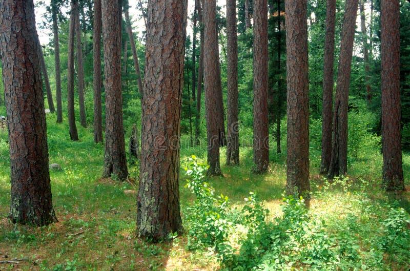 Un supporto del pino rosso della Norvegia immagine stock