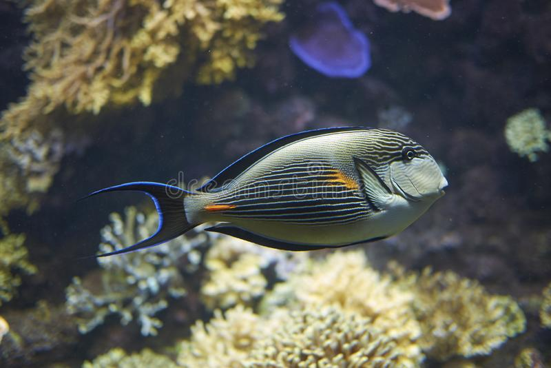 Un surgeonfish di Sohal fotografia stock libera da diritti