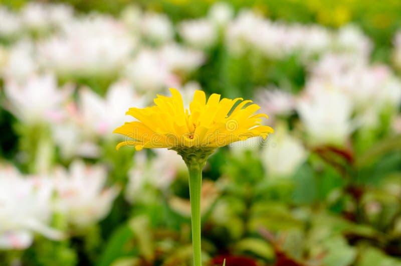 Un tagete giallo sui precedenti del letto di fiore fotografia stock libera da diritti