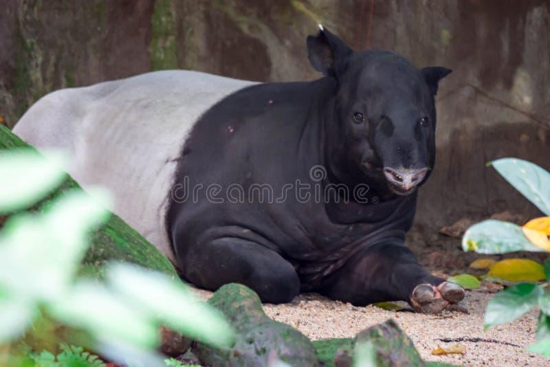 Un tapir asiatique de tapir malais tapiru cipan, de tenuk ou de badak de tampung image libre de droits