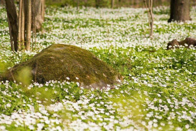 Un tappeto dei fiori bianchi con la pietra pittoresca fotografia stock