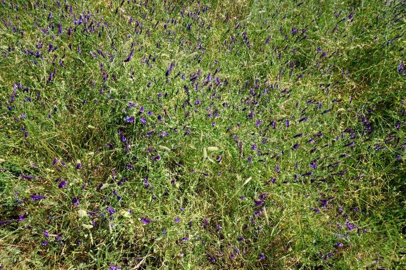 Un tappeto dei wildflowers, un varia di motleysecuridera del ` s del carpentiere immagine stock libera da diritti