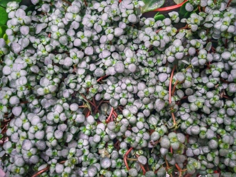 Un tappeto verde da una pianta strisciante Piccole forti foglie verdi fotografia stock
