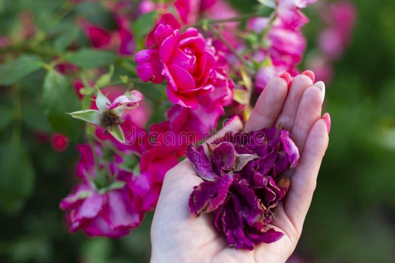 Un tas de pétales de rose séchés dans la main des femmes et de roses fraîches à l'arrière-plan Photo avec focus sélectif images libres de droits