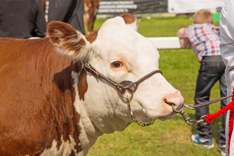 Un taureau à une exposition traditionnelle du comté image libre de droits