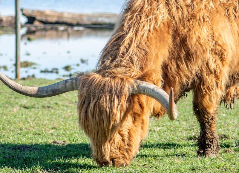 Un taureau des montagnes écossais frôlant dans un pré en Suisse - 1 photos libres de droits