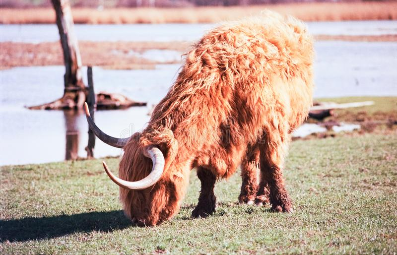 Un taureau des montagnes écossais frôlant dans un pré en Suisse, tir avec la photographie analogue de film - 2 images stock