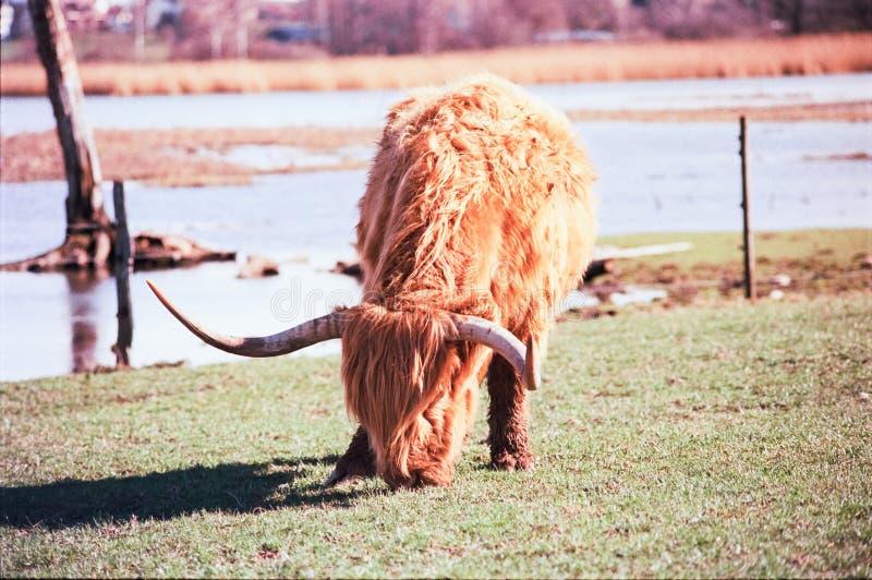 Un taureau des montagnes écossais frôlant dans un pré en Suisse, tir avec la photographie analogue de film - 3 images libres de droits