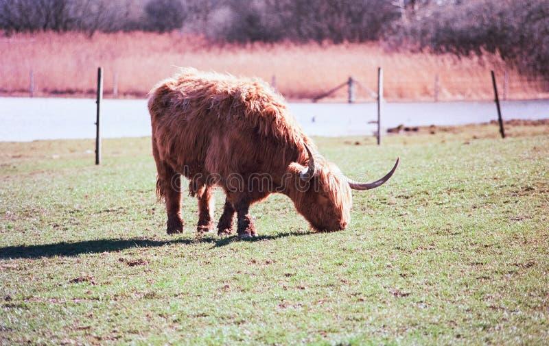 Un taureau des montagnes écossais frôlant dans un pré en Suisse, tir avec la photographie analogue de film - 4 photo stock