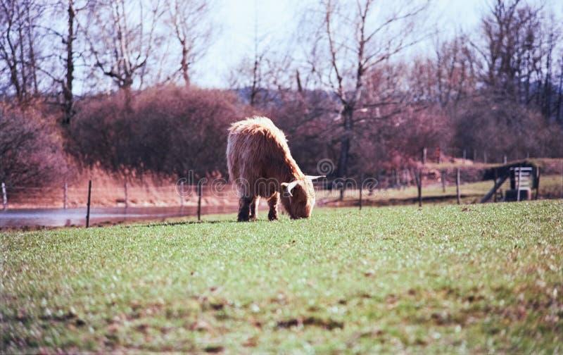 Un taureau des montagnes écossais frôlant dans un pré en Suisse, tir avec la photographie analogue de film - 1 photos libres de droits