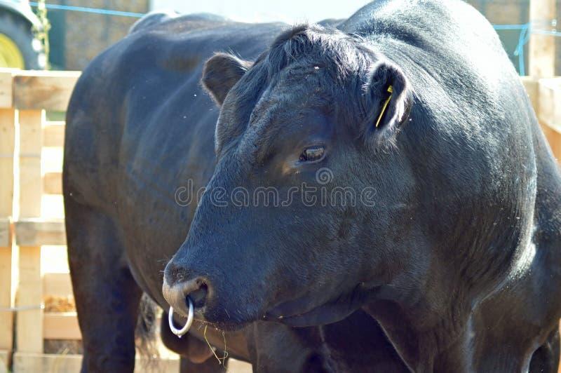 Un taureau noir d'Angus photo libre de droits