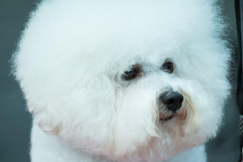 Un tema de la raza boloñesa que espera para incorporar el anillo para el juicio durante una exposición canina foto de archivo