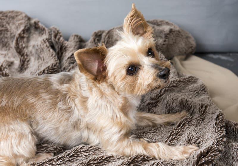 Un terrier de Yorkshire fixant sur une couverture brune image stock