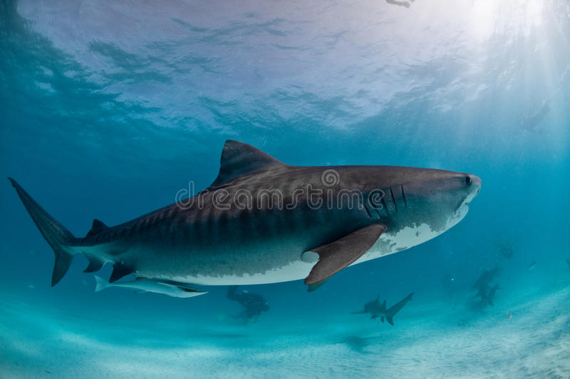 Un tiburón de tigre con los amigos fotografía de archivo