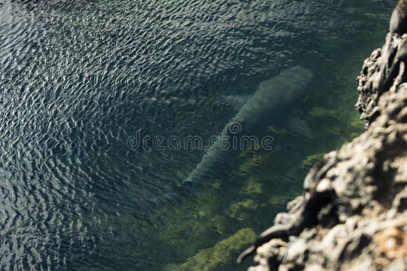 Un tiburón en el agua imagen de archivo