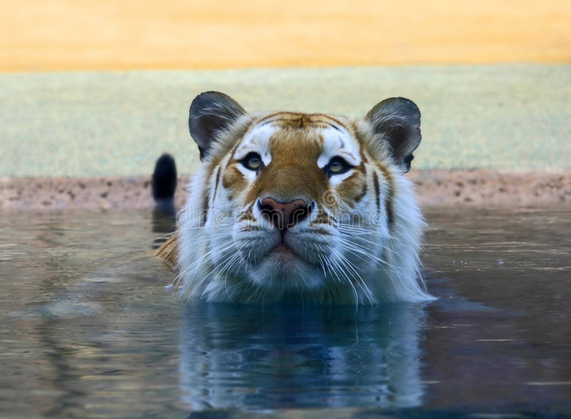 Un tigre brun dans un amusement photo libre de droits