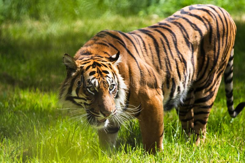 Un tigre de Sumatran, que habita originalmente la isla indonesia de Sumatra fotografía de archivo