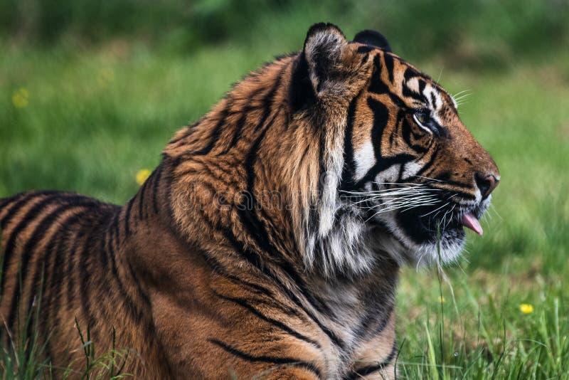 Un tigre de Sumatran, qui habite à l'origine l'île indonésienne de Sumatra photo libre de droits