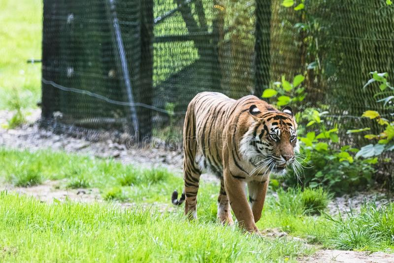 Un tigre de Sumatran, qui habite ? l'origine l'?le indon?sienne de Sumatra images libres de droits