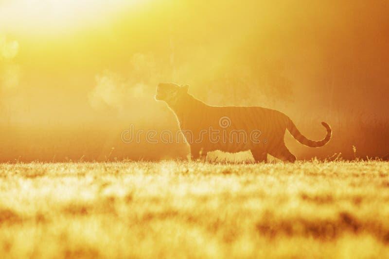 Un tigre en el sol de la mañana en un prado Silueta del tigre siberiano en el sol Escena de la fauna de la acción, animal del pel fotos de archivo