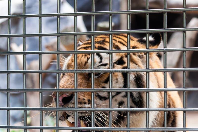 Un tigre en una jaula imagen de archivo