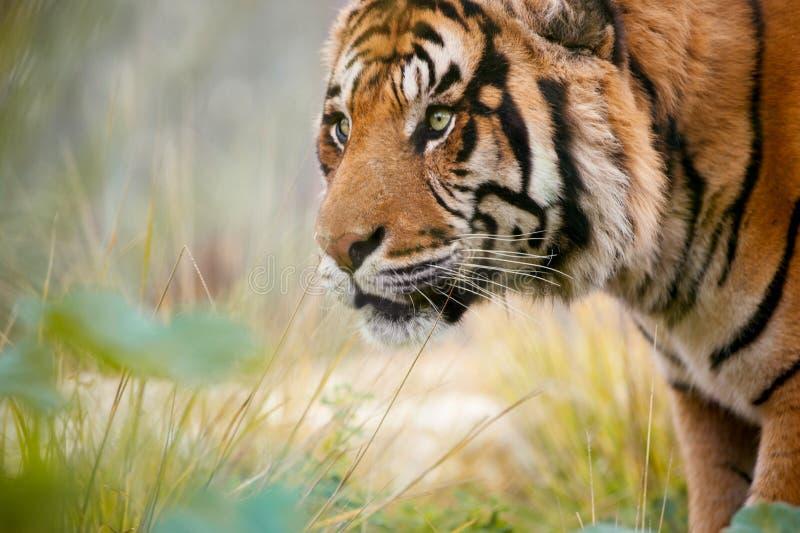 Un tigre hambriento que busca la comida fotografía de archivo