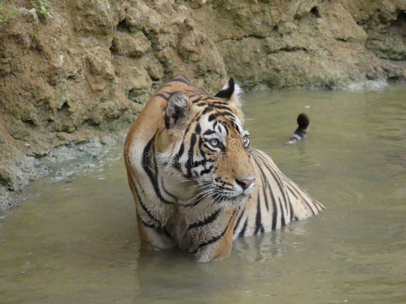 Un tigre indien se lève après avoir refroidi dans l'eau naturelle photographie stock libre de droits