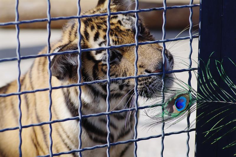 Un tigre juega con una pluma de la avestruz en un parque zoológico imagenes de archivo