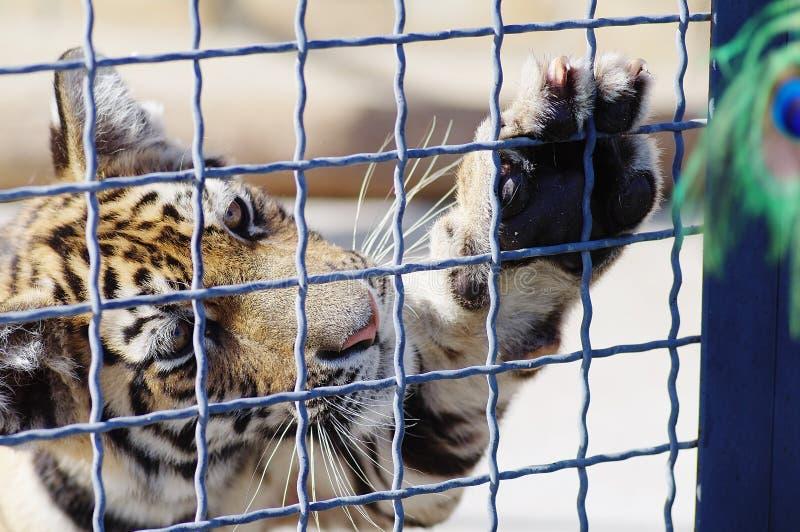 Un tigre juega con una pluma de la avestruz en un parque zoológico imagen de archivo libre de regalías