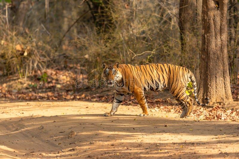 Un tigre mâle se lève images stock