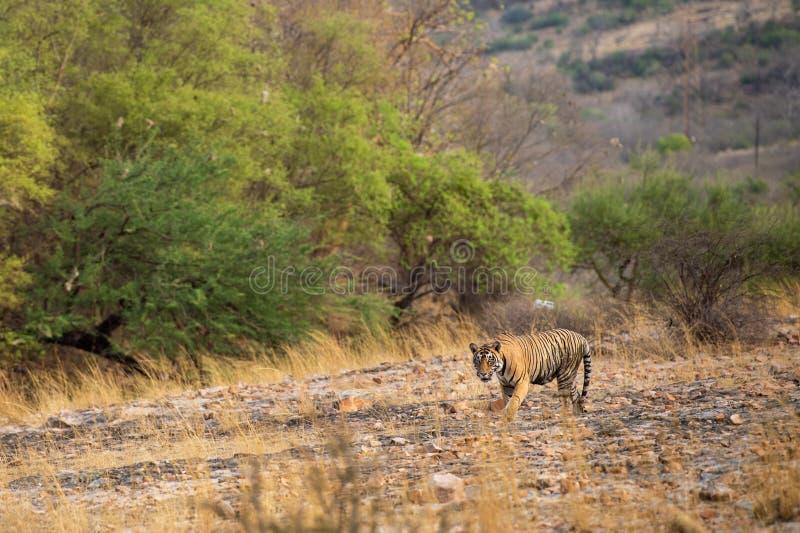 Un tigre o un panthera masculino real el Tigris de Bengala en vagabundeo con un paisaje seco del fondo de las colinas de los árbo foto de archivo libre de regalías