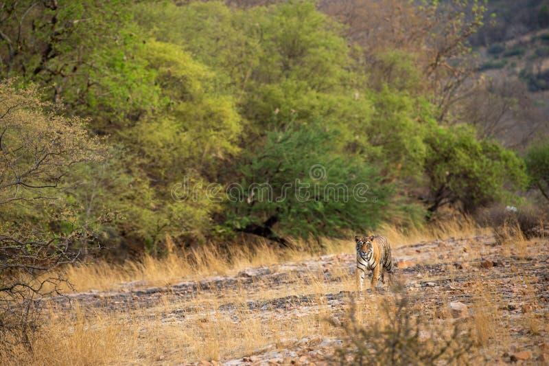 Un tigre o un panthera masculino real el Tigris de Bengala en vagabundeo con un paisaje seco del fondo de las colinas de los árbo fotografía de archivo