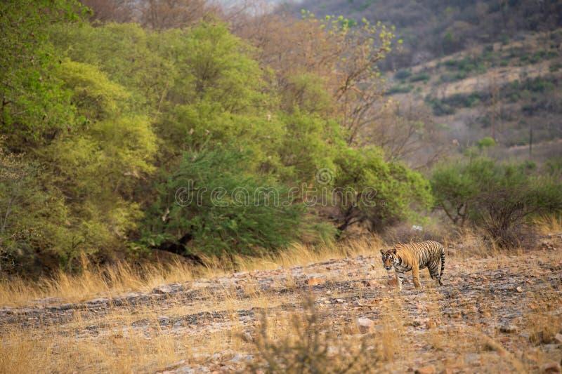 Un tigre o un panthera masculino real el Tigris de Bengala en vagabundeo con un paisaje seco del fondo de las colinas de los árbo fotografía de archivo libre de regalías
