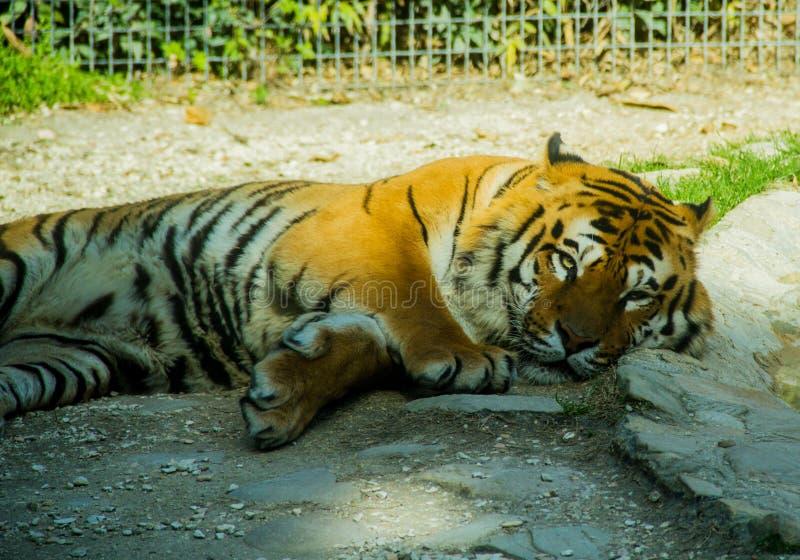 Un tigre soñoliento grande imagen de archivo