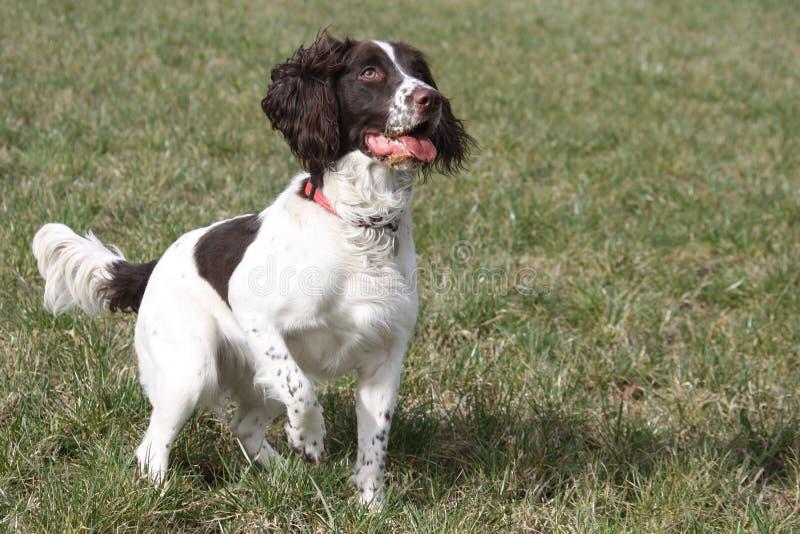 Un tipo di lavoro cane da caccia dell'animale domestico dello spaniel inglese da salto che aspetta pazientemente su un tiro immagine stock libera da diritti