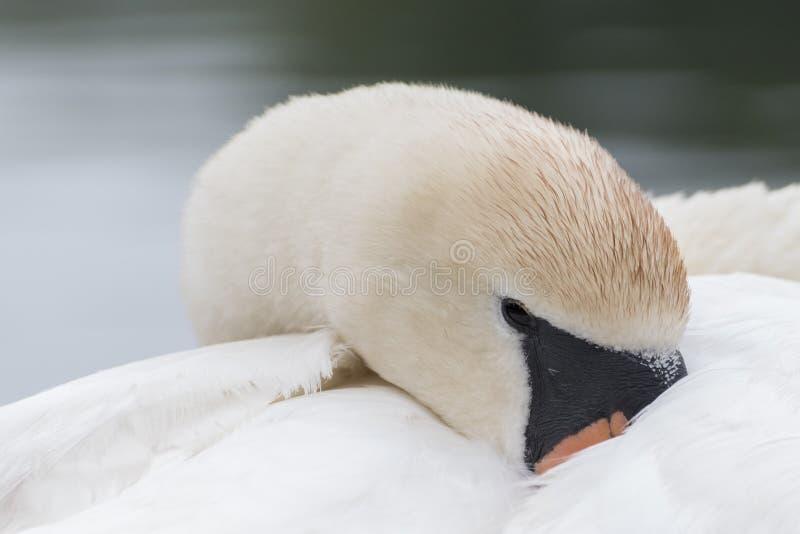 Un tir blanc de tête de cygne photo stock