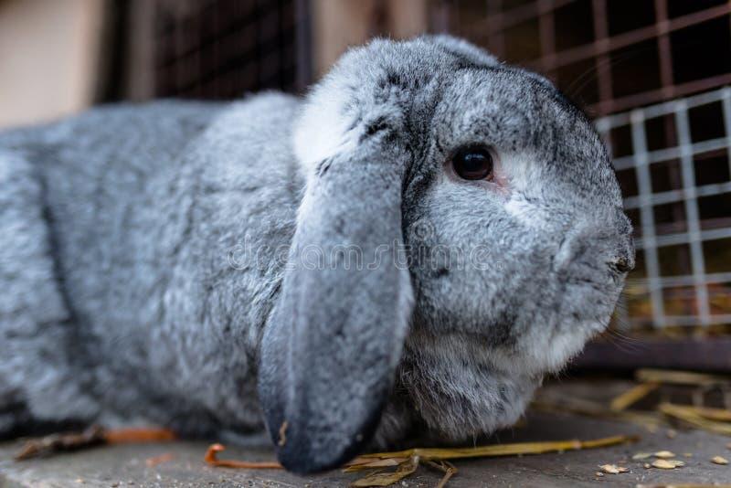 Un tir en gros plan d'une position de multiplication de lapin devant une cage en bois photographie stock