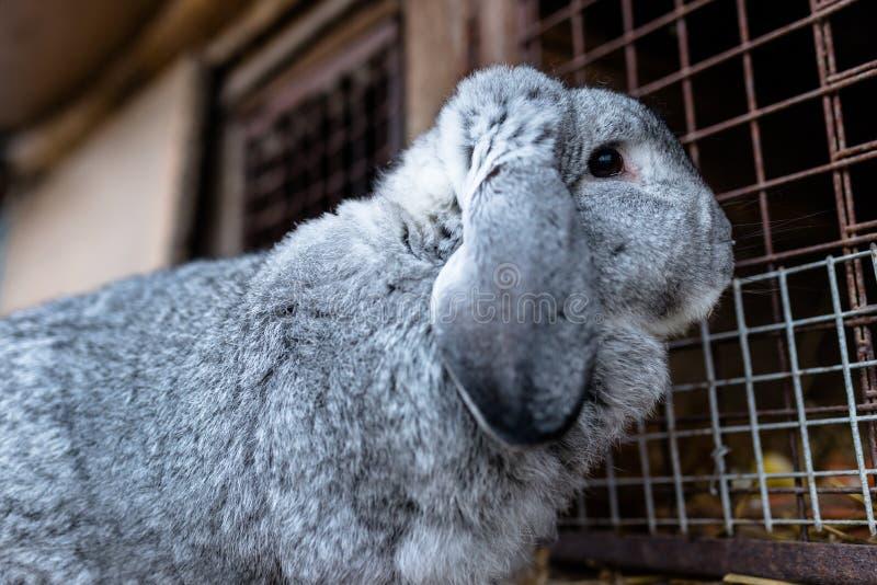 Un tir en gros plan d'une position de multiplication de lapin devant une cage en bois image libre de droits