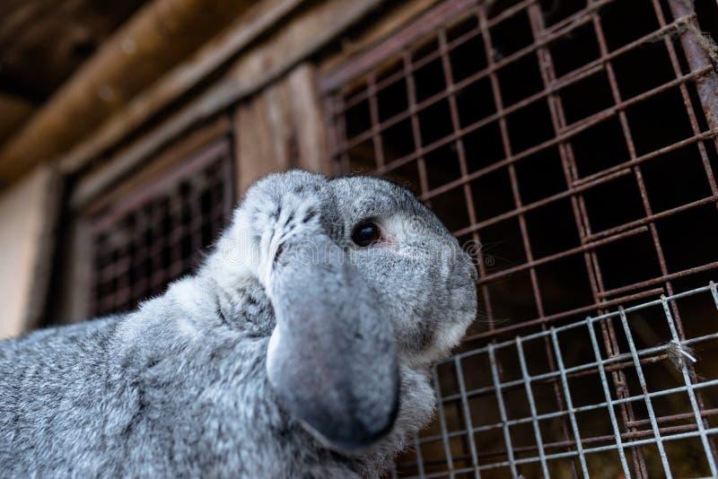 Un tir en gros plan d'une position de multiplication de lapin devant une cage en bois photographie stock libre de droits