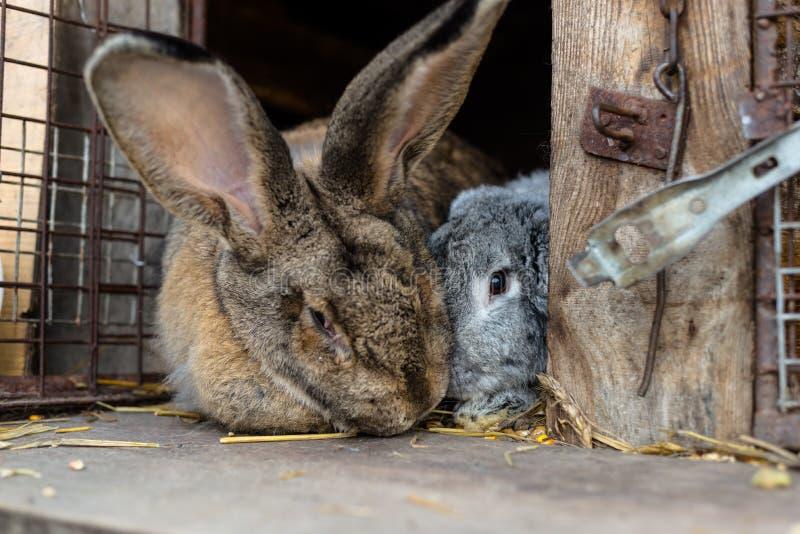 Un tir en gros plan d'une position de multiplication de lapin devant une cage en bois photo stock