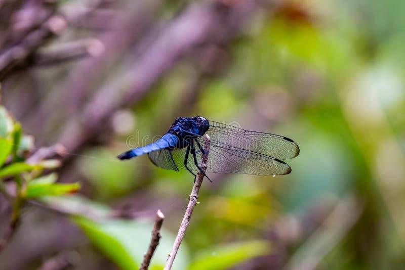 Un tiro macro apretado de una libélula azul japonesa imágenes de archivo libres de regalías