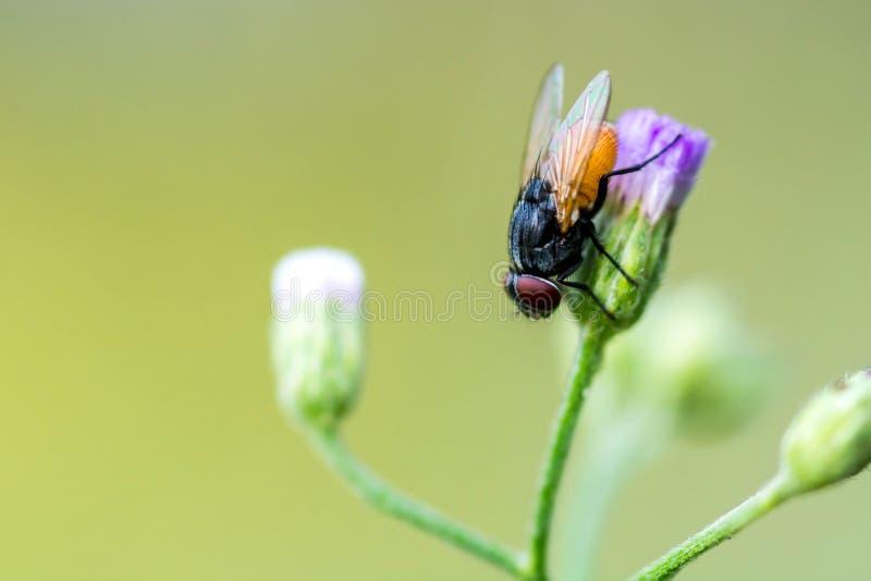Un tiro macro de la mosca en la flor púrpura imágenes de archivo libres de regalías