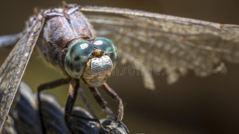 Un tiro macro de una lib?lula azul imagenes de archivo