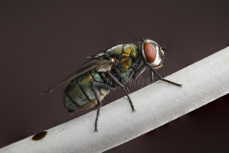 Un tiro macro de una mosca de la casa foto de archivo libre de regalías