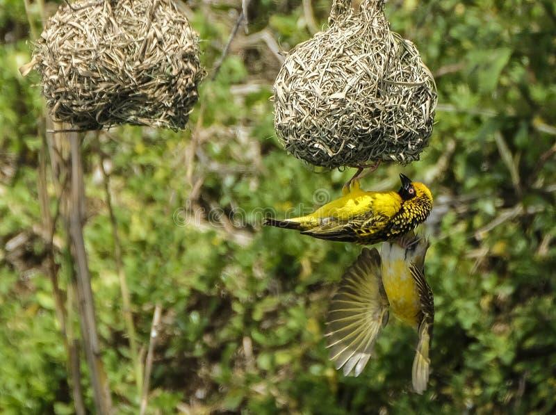 Un tisserand coloré magnifique à son nid images stock