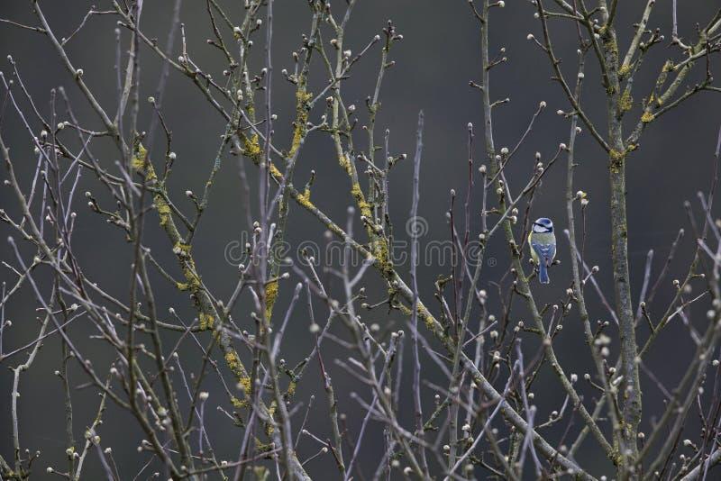 Un tit azul eurasiático encaramado en una ramita en un día de invierno frío en los Países Bajos imagen de archivo