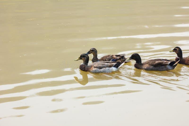Un tizio dell'anatra selvatica è nel fiume, Tailandia fotografia stock libera da diritti